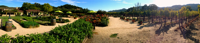 "Our vineyard is situated along Highway 29 in the famous Oakville Appellation in the heart of the Napa Valley.  We have 10 acres planted exclusively with Cabernet Sauvignon grapes.  We've named this beautiful piece of land ""Brix Vineyard"", after our namesake restaurant ""Brix""."